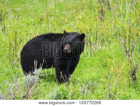 Black Bear (Ursus americanus) seen in Yellowstone National Park. Wyoming, USA