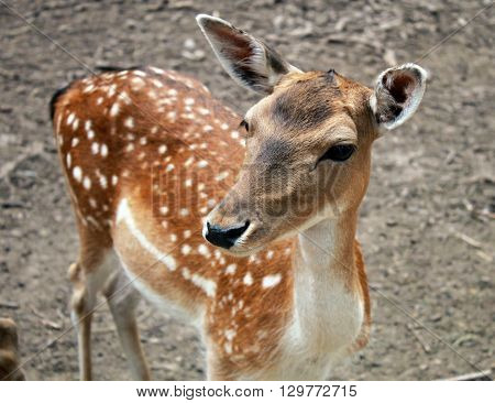 portrait of fawn deer calf, selective focus