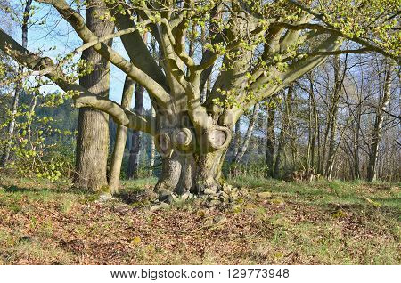 old tree oak southern Bohemia Czech Republic