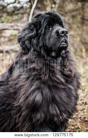 Large black Newfoundland dog sitting outdoors in a natural wooded setting.