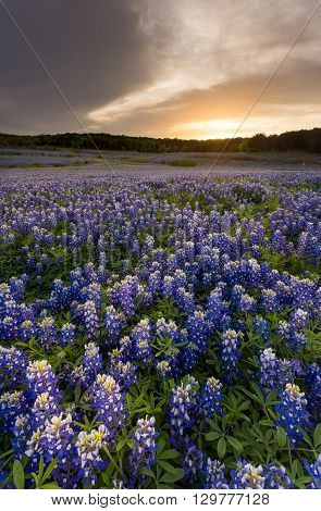 Beautiful Bluebonnets Field At Sunset Near Austin, Texas In Spring.