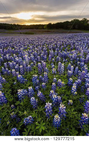 Beautiful Bluebonnets field at sunset near Austin Texas.