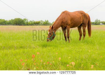 brown horse eating grass in farm land