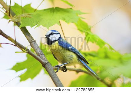 the small colorful bird blue tit sitting on the branch of a young maple and sings the song in the spring