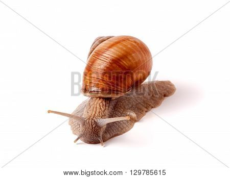 Live snail crawling on a white background close-up macro.