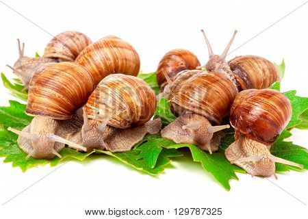 snails crawling on the grape leafs on a white background.