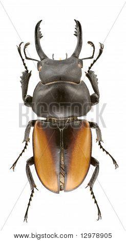 Neolucanus Delicatus