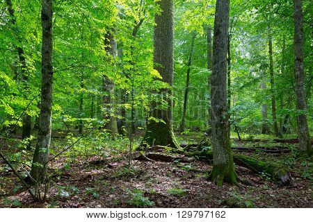 Primeval deciduous stand of natural forest in summertime with huge spruce in foreground, Bialowieza Forest, Poland, Europe