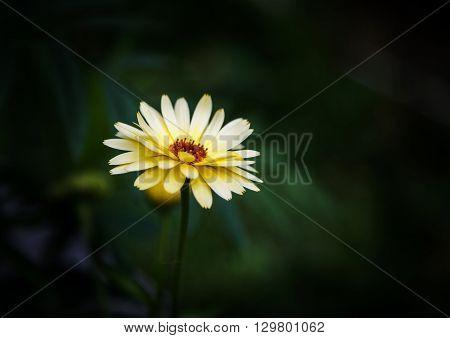 Yellow marigold (Calendula) against dark green background