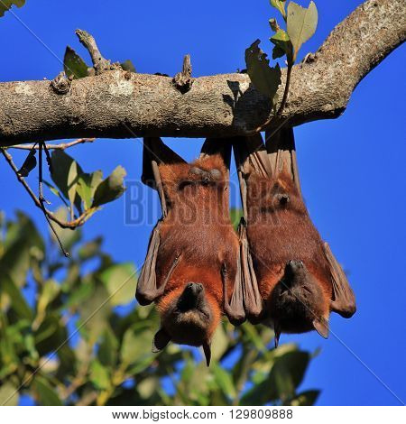 Wild animals living in Australia. Halloween symbol. Fruit bats also named flying foxes.