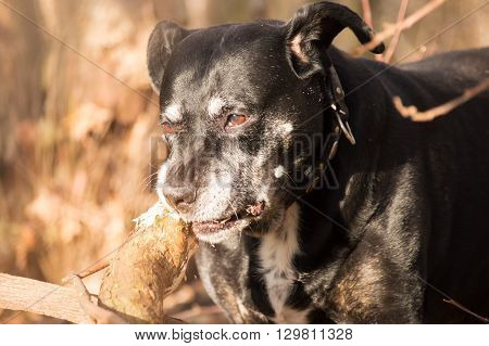 Black american stafford shire chewing on a tree in a autumn colored forest