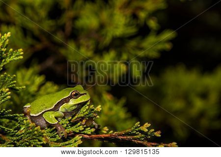 A Pine Barrens Treefrog in a cedar tree near a vernal pool during breeding season.