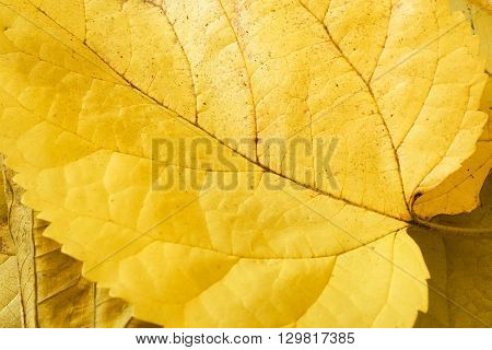 Yellow Autumn / Fall Mulberry leaves in closeup