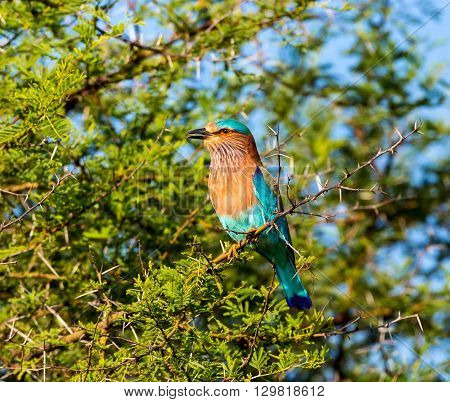 The Indian roller , is a member of the roller family of birds. They are found widely across tropical Asia and are best known for the aerobatic displays of the male during the breeding season.
