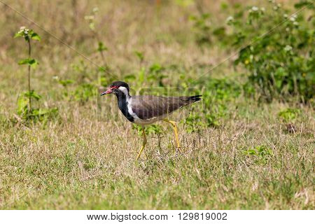 Red-wattled lapwings are large waders, about 35 cm long. The wings and back are light brown with a purple sheen, but head and chest and front part of neck are black. The head has red markings.
