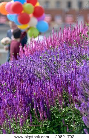 lavender lawn on the Crimean embankment. Moscow, Russia. in the background are vacationers tourists out of focus