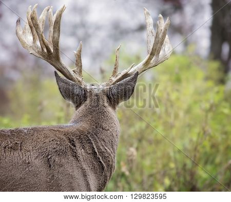 Large, white-tailed deer buck, head and shoulders image, from behind.