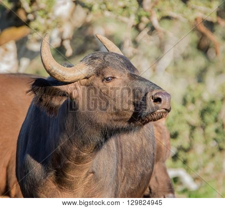 Young African Buffalo in Southern African savanna
