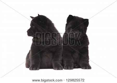 Chow-chow Black Puppies