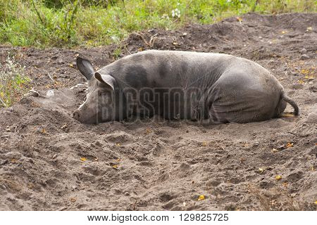 fat dirty pig is laying in mud