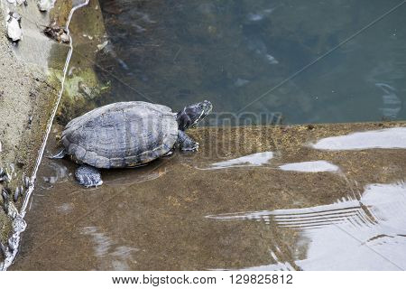 Chinese pond turtle is sunning on the stone