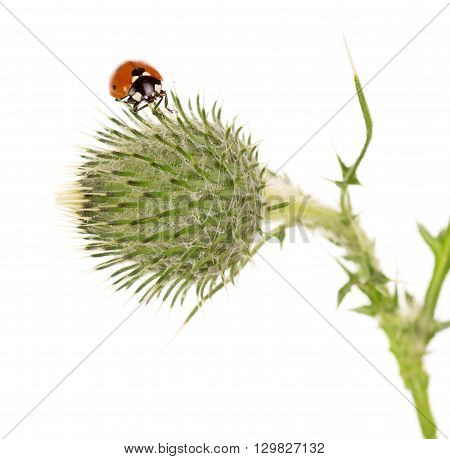 Tight buds Thistle with ladybird isolated on white background.
