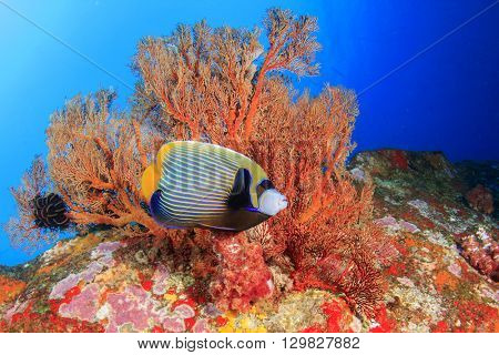 Emperor Angelfish on coral reef in sea