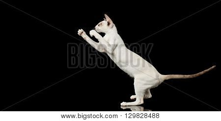 Playful White Oriental Cat Standing on rear legs and Boxing of paws Black Isolated Background