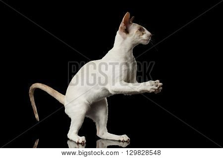 Playful White Oriental Cat Standing on rear legs and Catching of paws Black Isolated Background