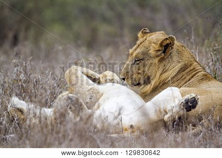 Specie panthera leo family of felidae, lions having a tender moment in savannah