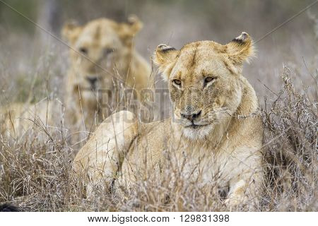 Specie panthera leo family of felidae, lioness and its young in savannah, Kruger, South Africa