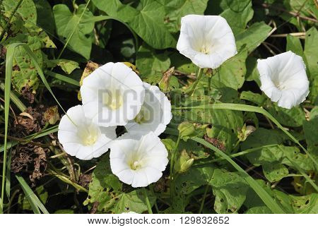 Hedge Bindweed - Calystegia sepium A Common Garden Weed