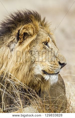 Specie Panthera leo family of felidae, portrait of an african elephant in kruger park, South Africa