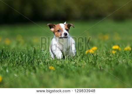 happy jack russell terrier puppy running outdoors