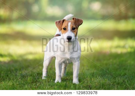 young jack russell terrier dog standing outdoors