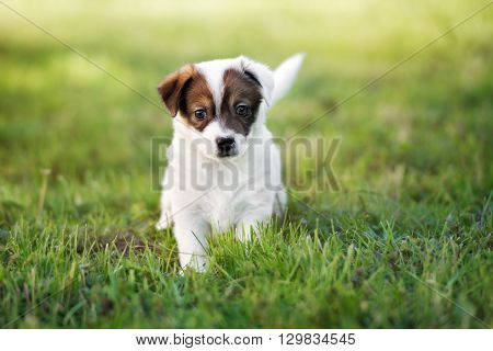 adorable jack russell terrier puppy walking outdoors