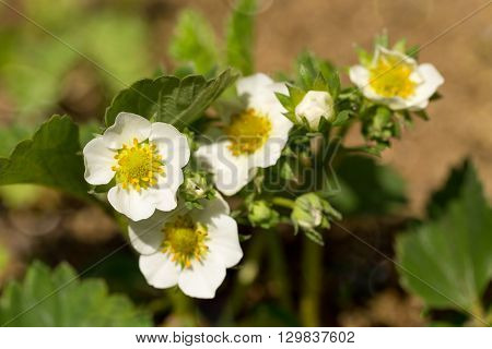Woodland Strawberry Flowering
