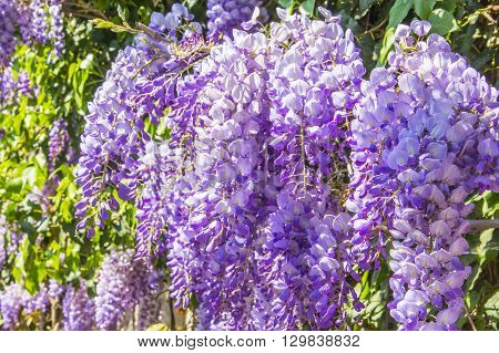floral background blur beautiful purple wisteria blossoms in the park in Yalta