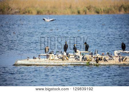 Hula Nature Reserve, Israel, Decembe. Flock of waterfowl winters at Lake Hula
