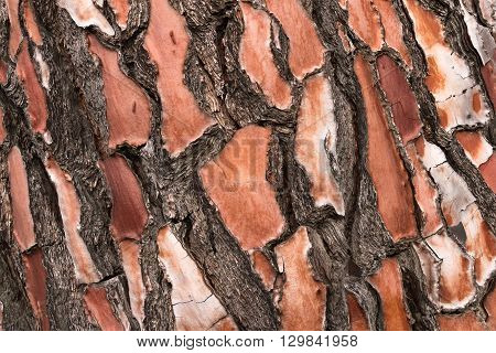 Close detail of radiata pine tree bark