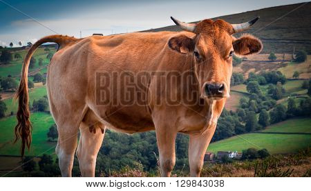 Asturian cow looking menacingly at the camera