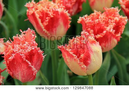 Pretty tulips with fringed petals in pretty landscaped garden