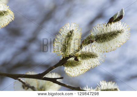 Willow Flowersin Spring Close Up macro image.