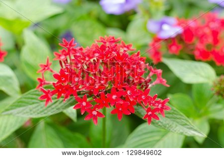 Egyptian star cluster Red star flower, Red flower