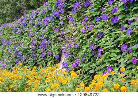 beautiful purple morning glory flowers blooming at Penang hill Malaysia