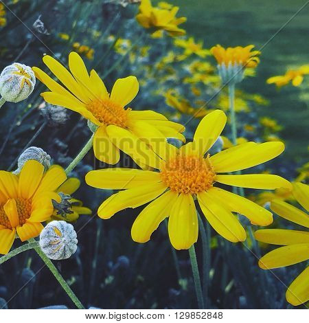 A mass of bright yellow daisies as far as you can see