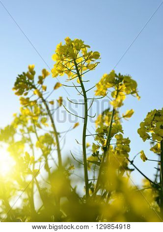 Flower of a rapeseed ( Brassica napus ) at sunrise.
