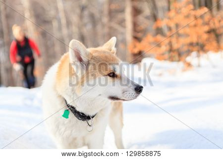 Woman hiking in white winter forest with akita dog. Recreation and healthy lifestyle outdoors in nature. Akita dog portrait on sunset.