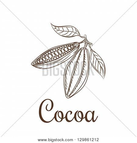 Cocoa beans sketch vector illustration. Cacao icon. Natural raw cocoa seeds for chocolate package or badge.