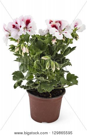 White garden English geranium with buds in flowerpot isolated on white background